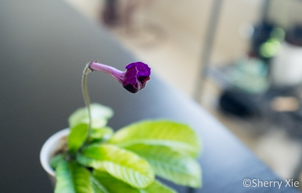 African Violet - Strep. 'Heartland's Auzzie Butterfly'